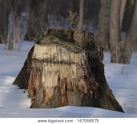 flora, nature, trees, stump, tree, winter, Patriarch of the poplars, felled poplar tree srcblend