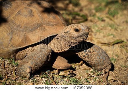 Desert tortoise (Gopherus agassizi) facing right, sideview