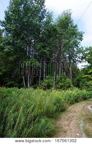 A large stand of stinging nettles (Urtica dioica) in a yard at the edge of a forest in Harbor Springs, Michigan during August.