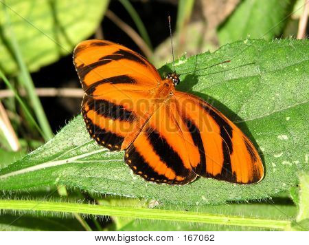 a banded orange butterfly sunning on a leaf. poster