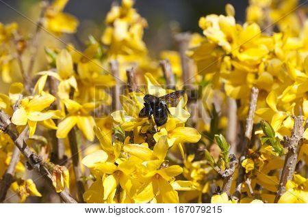 Bumblebee, Xylocopa violacea, sucking on a Forsythia flower