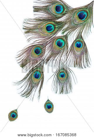 Group of bright peacock feathers on the white background, diagonal composition, top view