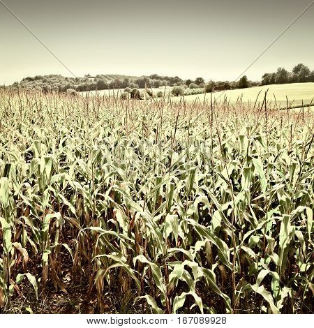 Plantation of Corn in the French Limousen Vintage Style Toned Picture