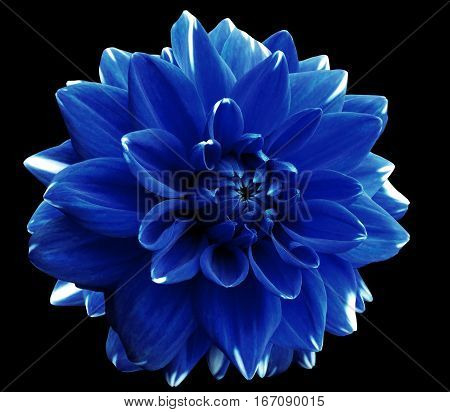 Flower blue motley dahlia. Isolated on a black background. Close-up. without shadows. For design.