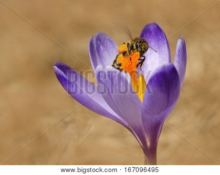 Honeybees (Apis mellifera) bees in the crocuses in the spring on a mountain meadow in the Tatra Mountains Poland