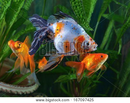 Goldfish aquarium a group of fish on the background of aquatic plants