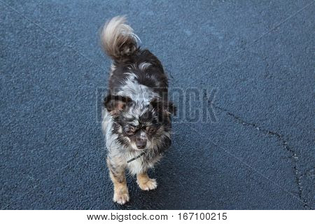 Long-haired Chihuahua dog with rare choco merle color stands and looks exhausted from the raging in the snow on a dark gray frozen asphalt road.