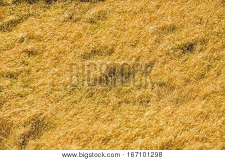 Wheat field backround close up. Nepal, Manaslu