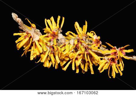 Hamamelis 'Brevipetala' (Witch Hazel) a yellow winter spring flowering shrub which has highly fragrant flowers and leafless when in bloom
