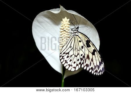 Idea leuconoe commonly known as the large tree nymph butterflies on a white peace lily flower