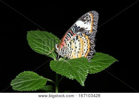 Tropical butterfly resting on green leaves with a black background