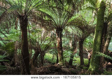 Tropical Forest In Mount Field National Park, Tasmania. Australia.