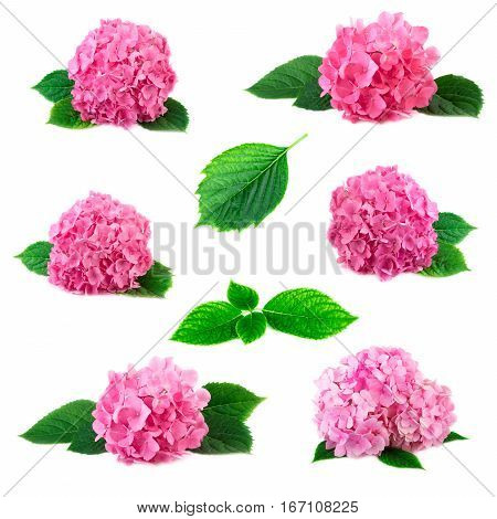 Collection of hydrangea hortensia flowers with green leaves isolated on white. Pink flowerheads of hydrangeas arrangement set collage