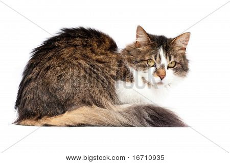 Beautiful laying cat isolated over white background poster