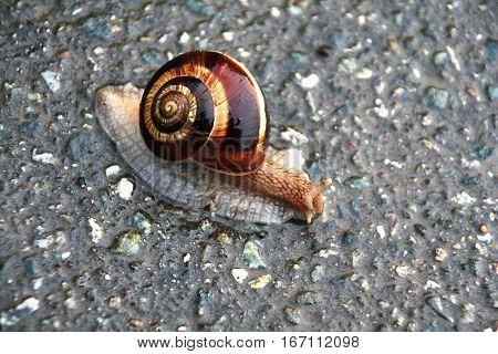 Snail On Asphalt. Screeping Brown Shiny Snail In Wet Weather. Snail After Rain.
