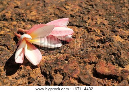 Fresh Flower Shriveling on Hot Volcanic Stone