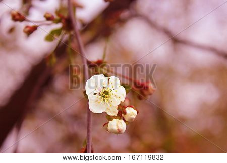 Cherry blossom with beautiful background in the spring