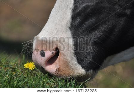 The cow's mouth. Moist nostrils domestic cattle. Organ of smell.