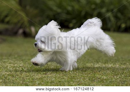 A white maltese dog running on green grass and plants on the background