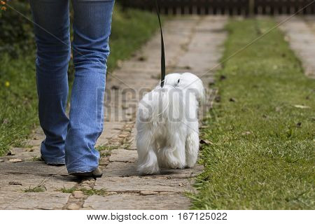White Maltese dog walking in a pathway with owner. Back view.