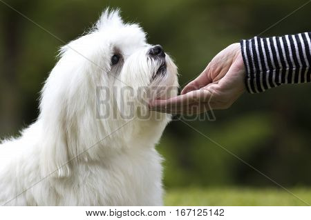 White Maltese dog being caressed by his owner