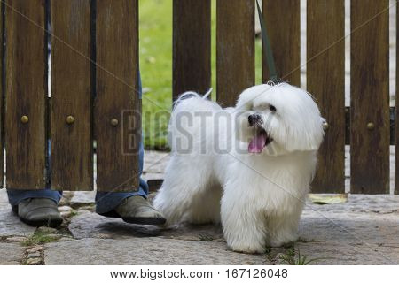 White Maltese dog walking with owner near a wooden gate