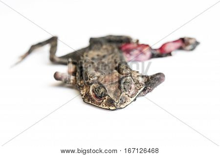 dry and flat toad,frog death on white background, isolated