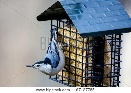 White-breasted Nuthatch (Sitta carolinensis) on a suet feeder in Wisconsin.