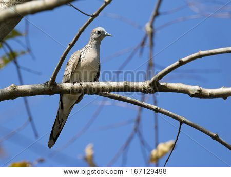 Image of dove bird perched on a tree branch. Wild Animals.