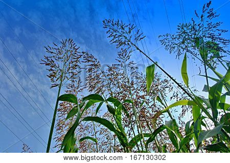 Young corn field and blue sky in spring