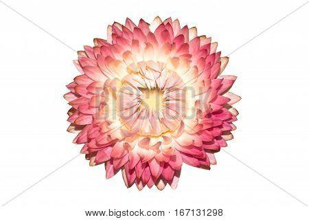 Dry Xerochrysum bracteatum flower isolated on white background. Pink dry Helichrysum Strawflower