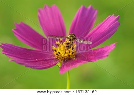 A bee collects nectar, turning its back on a bright pink flower cosmos, green background