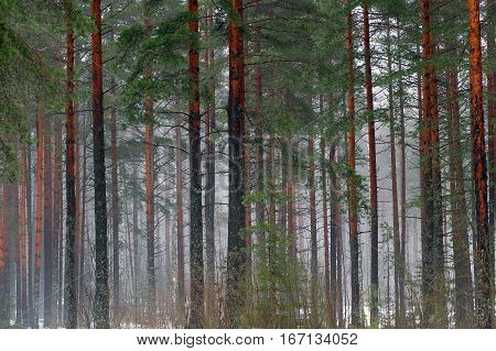Trunks of the tall pines and fog. Mystical and beautiful view of wildlife. Coniferous forest of tall trees. Blue nebula of cold winter woods.