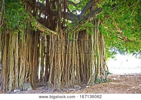 Banyan tree in Dominica island of the Caribbean.