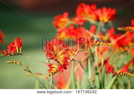 Red and yellow Lucifer plant, also known as Crocosmia. Grows in North Carolina