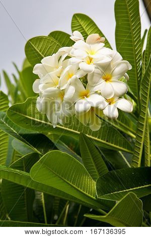 Plumeria in Hawaii. Fragrant flower commonly found in the islands.