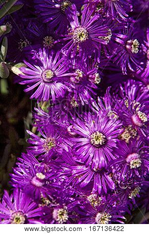 Ice Plant blooms from Portugal. Purple cluster.