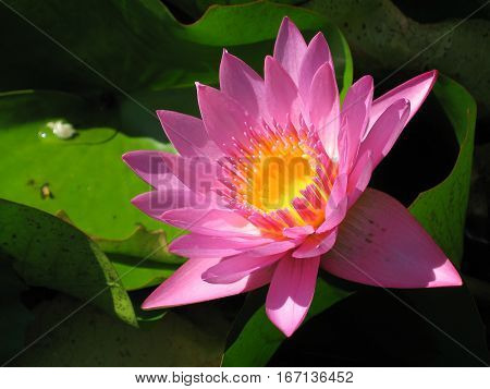Purple Water Lily flower. Yellow cup. Found in Tahiti.