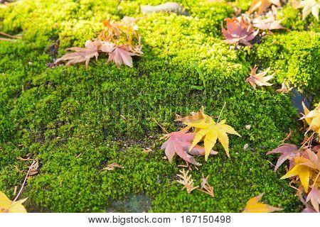Fallen dry maple leaves on moss ground nautral autumn season background