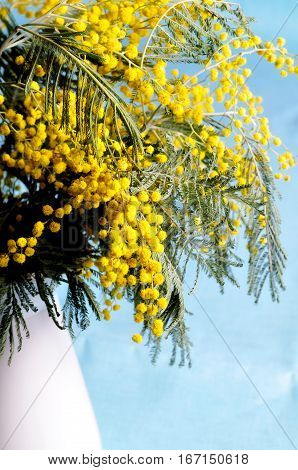 Spring background with mimosa flowers - mimosa flowers in the white vase on blue background