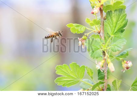 little bee flying over flowering branches of trees and collecting nectar in early spring