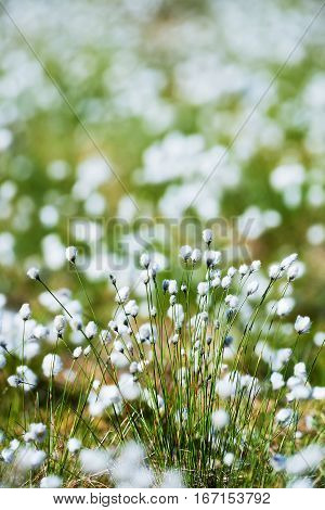white flowers of cotton grass in a north European marsh