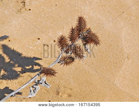 Xanthium strumarium or rough cocklebur dry (thorn)