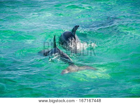 Dolphin Jumping in turquoise water near San Pedro island, Belize.