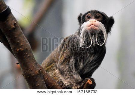 An Emperor Tamarin sitting on a branch