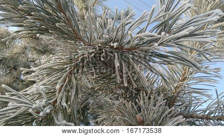 frost on pine tree needles