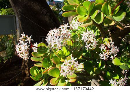 Crassula. Green plant. Beautiful flowers. Leaves. Nature.