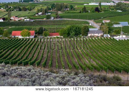 Rows of grape vines and vineyards on summer day
