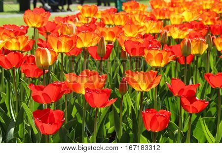 Beautiful spring park with a lot of tulips