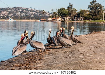 A group of California Brown Pelicans at Mission Bay Park in San Diego, California.
